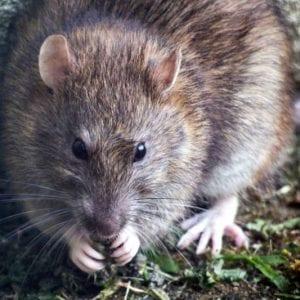 Hubení potkanů akrys vobdobí sucha