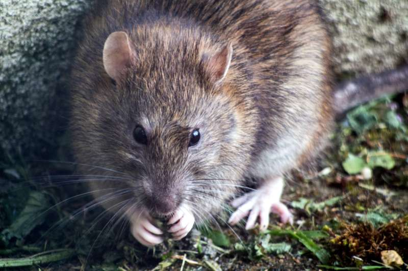 Hubení potkanů a krys