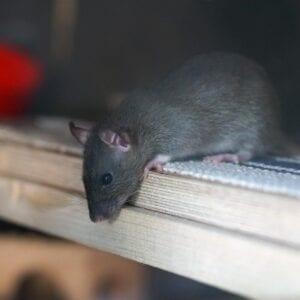Jak na potkany ahlodavce ve městech avesnicích